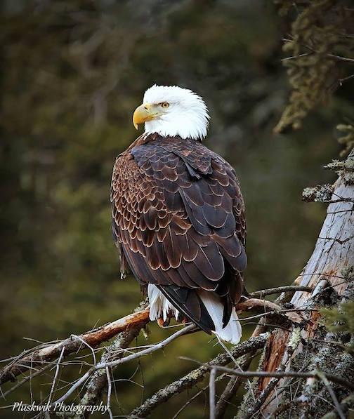 Bald Eagle by Paul Pluskwik.