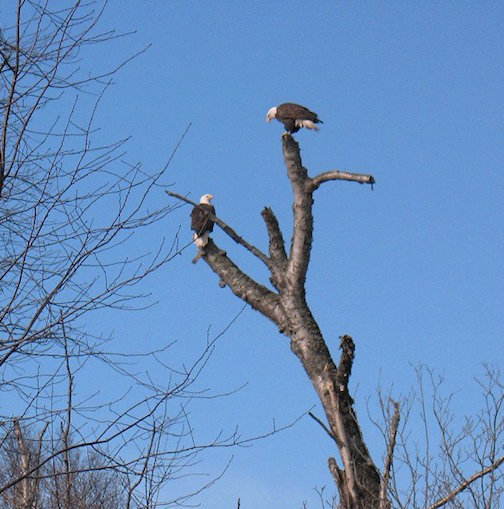 Two eagles by Tom Fiero.