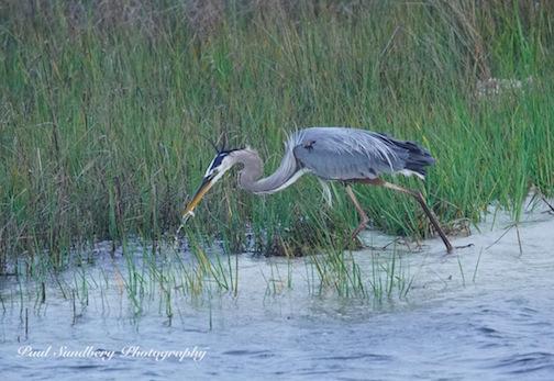 Blue Heron_PSundberg(1)