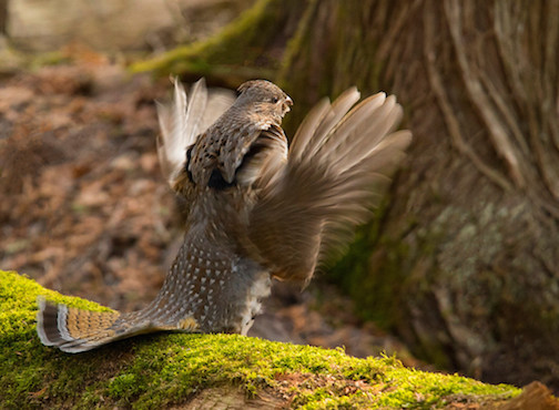 The Ruffed Grouse are drumming and Paul Sundberg caught this dramatic moment.