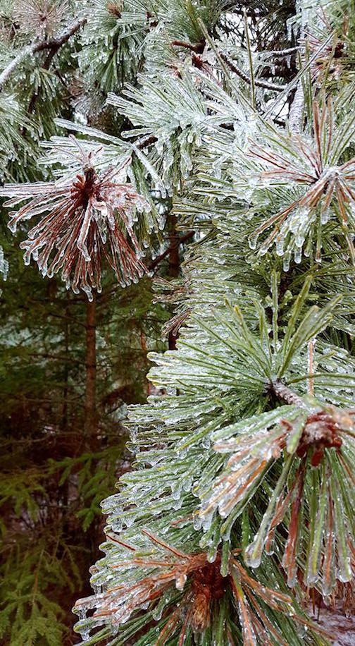 ann possis ice covered pines
