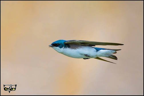 Tree swallow flying by Jeff Grotte.