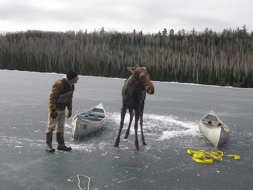 Dave Seaton tries to talk the moose into walking to shore.