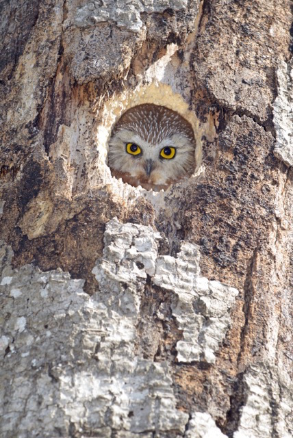 A new neighbor: saw whet owl by Kathy Gray-Anderson.