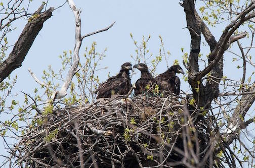 The bald eagles, which hatched out last month in St. Paul, are already testing out their wings in the nest.