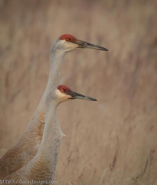 Sandhill Cranes at Crex Meadows by Michael Thompson.