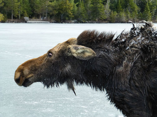 The moose finally made it to shore and into the woods.