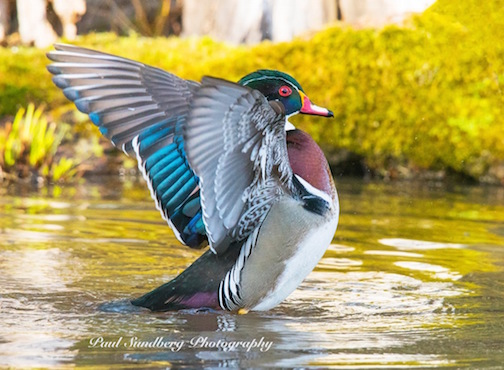 Wood Duck by Paul Sundberg.