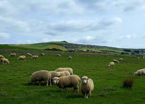 Sheep in a pasture in coastal England.
