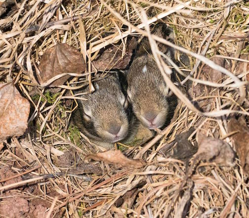 Cottontail bunnies by Sparky Stensaas. Stensaas said there were five of them in that well-camouflaged hole by his house.