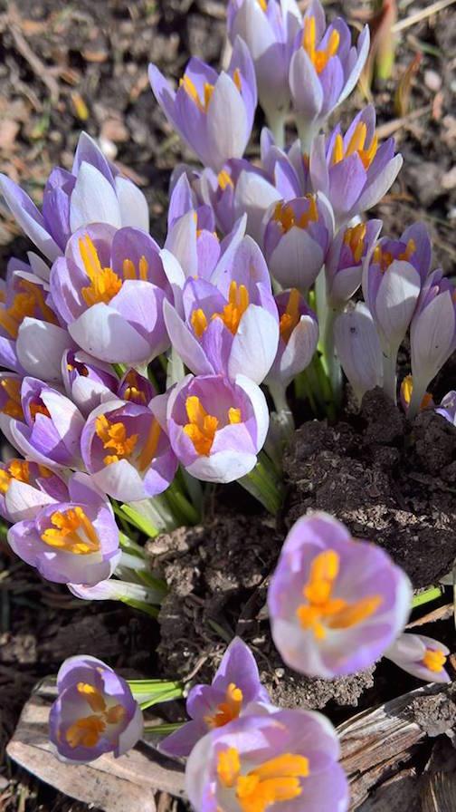 tom kasper first flowers of spring