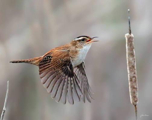 Flight of the Marsh Wren by John Heino.