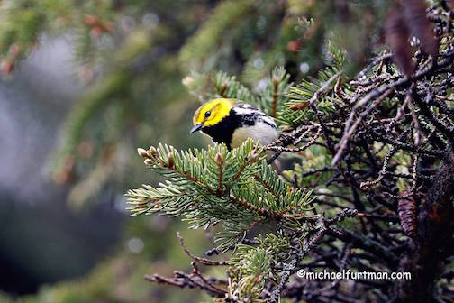 Black-throated green warbler by Michael Furtman.