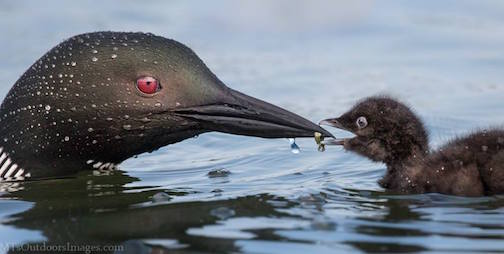 Loons by Michael Thompson.
