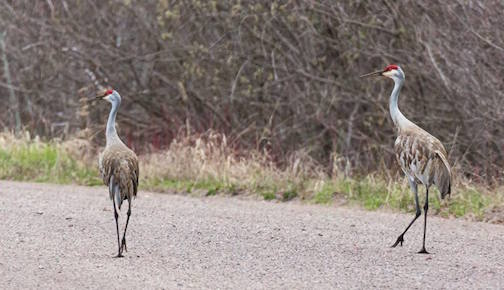 Sandhill Cranes in Cook County checking out the back roads by Thomas Spence.