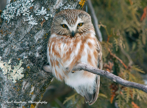 Saw-Whet Owl by Paul Sundberg.