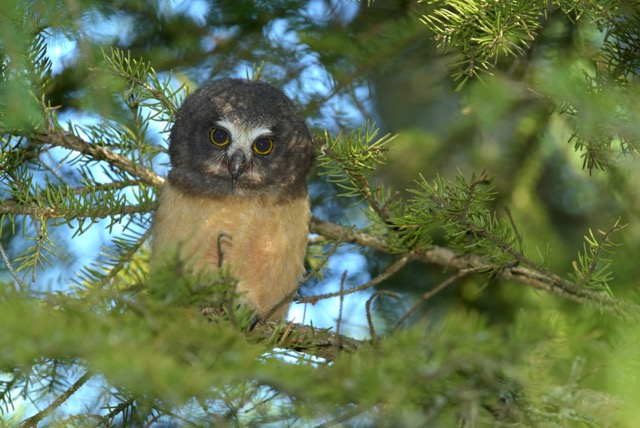 Saw Whet owlet by Kathy Gray-Anderson.