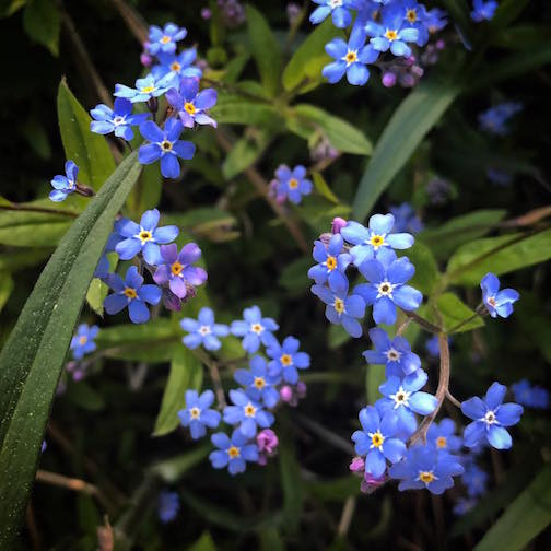 Forget-Me-Nots by Kristofer Bowman.