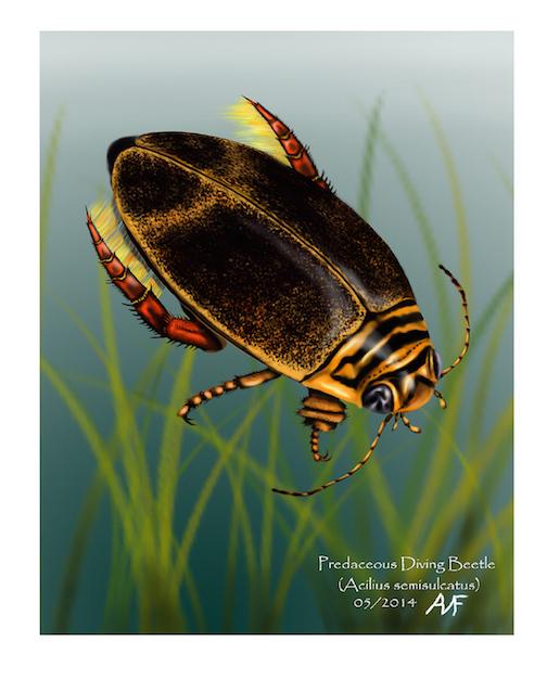 Predacious diving beetle (Acilius semisulcatus) by Adam Frankiewicz.