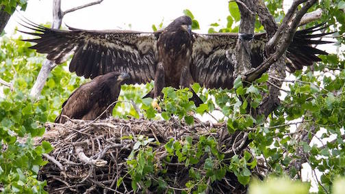 """Impressive -- for 11 Weeks!"" by Thomas Demma. (photo taken at the DNR Eagle Cam in the Twin Cities.)"