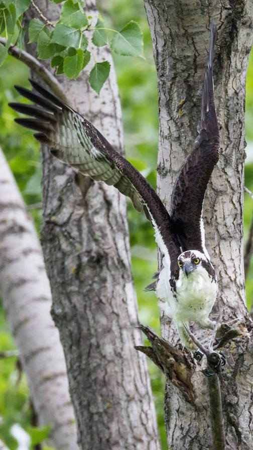 Ospery Fledge Week by Thomas Demma.