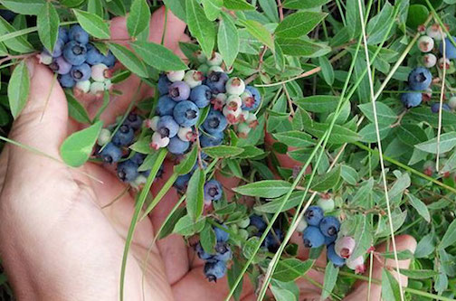 Blueberry season has started! Photo by Kjersti Vick.