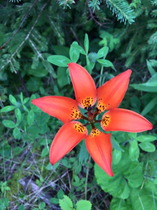 Woodland lily by Amy Demmer.