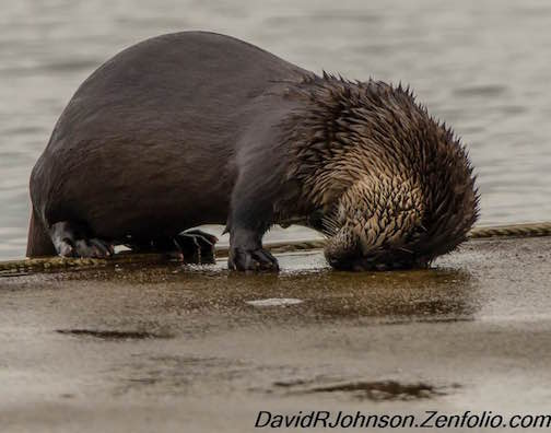"David Johnson caught this otter in an unusual position. He calls it ""My aching head."""