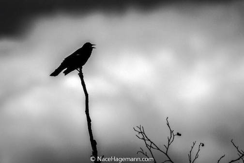 Red Wing Blackbird by Nace Hagemann.