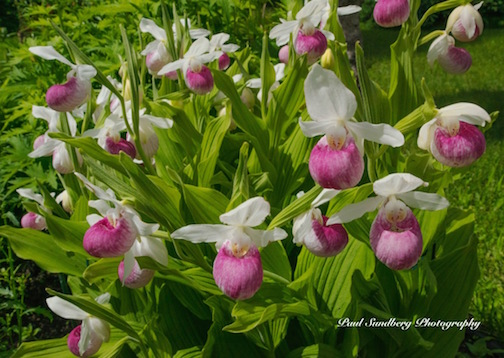 Showy Lady Slippers by Paul Sundberg.