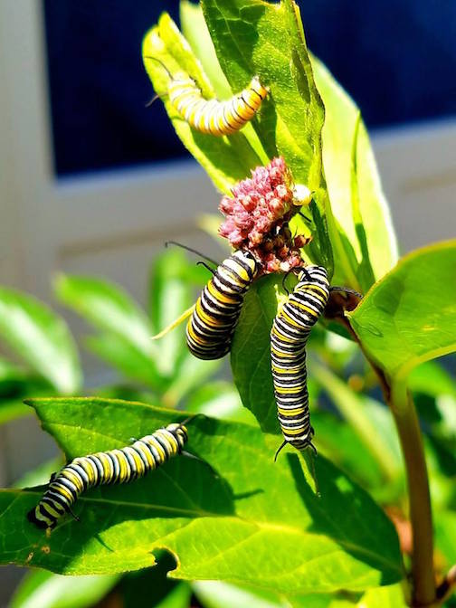 Monarchs on milkweed by Tom Kasper.