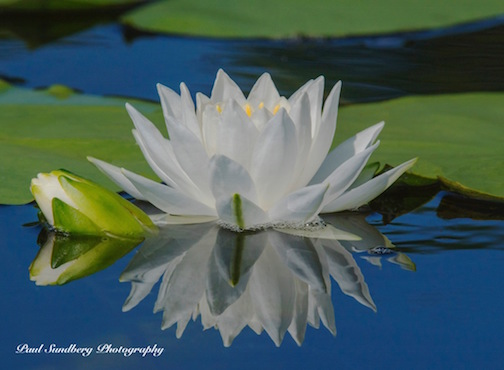 Fragrant Water Lily by Paul Sundberb.