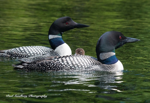 """Loon Family"" by Paul Sundberg."