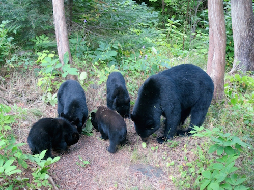 Betty Hemstad was very surprised to look out of her window of her cabin on the Gunflint Trail and see Mom and her four bear cubs.