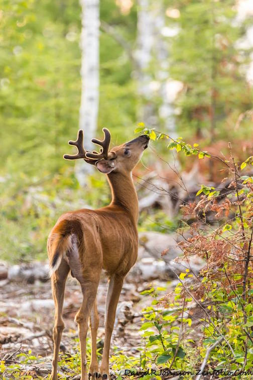 """Summer Buck Enjoying Some Tender Leaves"" by David Johnson."