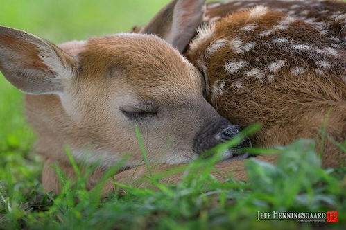 "Sleeping Fawn"" by Jeff Henningsgaard."