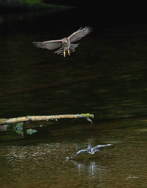 An argument between a sharp-shinned hawk and a belted kingfisher. The kingfisher held its ground... er... spot in the water. Photo by John Heino.