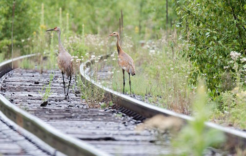 Sandhill Cranes in Schroeder by Thomas Spence.