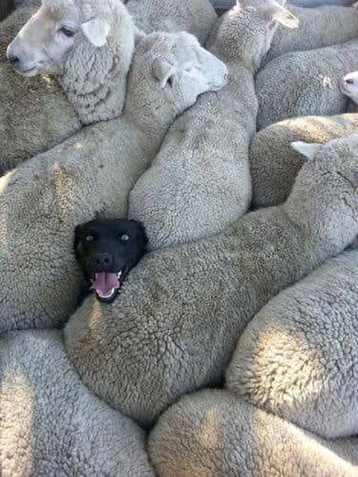 """When you lied on your resume about having previous sheepdog experience."" Posted on Facebook by Arnold Ziffel."
