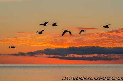 Sunrise geese by David Johnson.