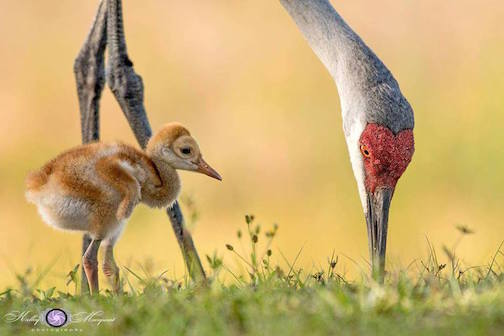 Mother Crane teaching baby how to find food by Kelly Marquart.