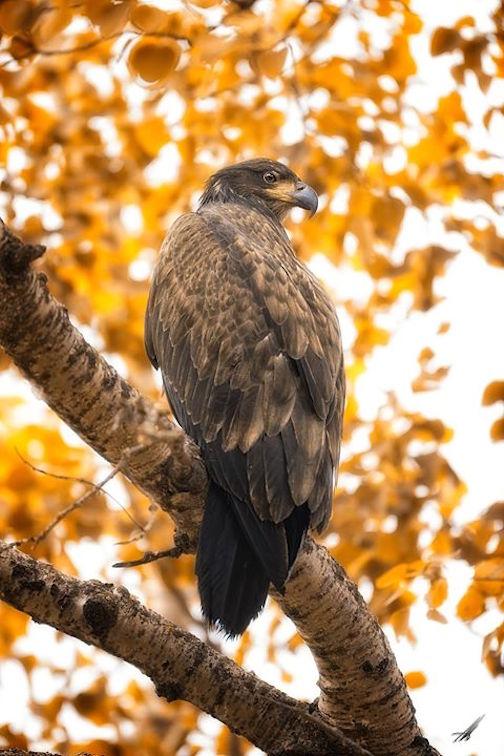 Immature bald eagle by Matt Herberg,