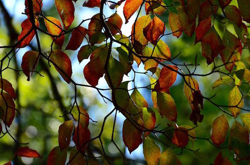 Leaves like stained glass by Becky Poirer.