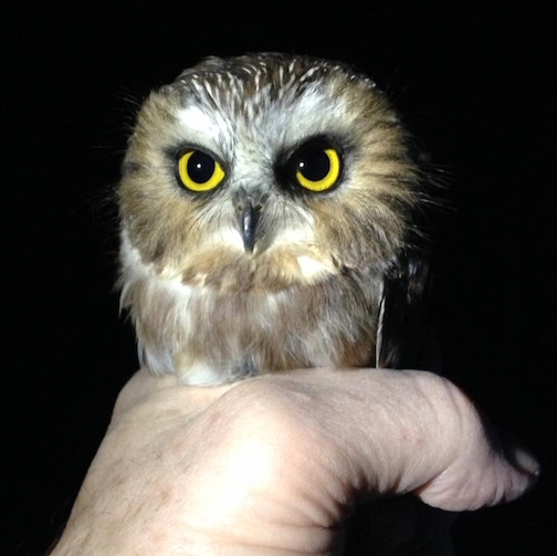A fierce saw-whet owl by Bill Willy Lane.