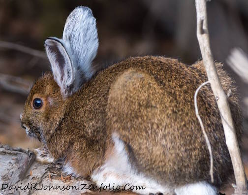 Snowshoe hares are starting to turn white, by David Johnson.