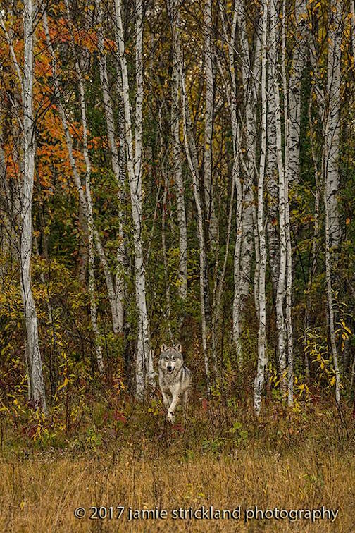 """Out of the Aspens"" by Jamie Stickland. Taken at a wildlife park in Minnesota."