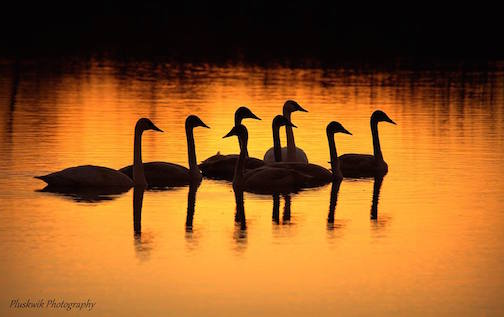 Trumpeter Swan family on a pond in Mountain Iron, by Paul Pluskwik.