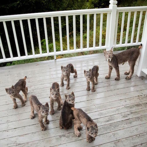 Lynx Mama and her seven kittens. Photo posted by Sharing Alaska.