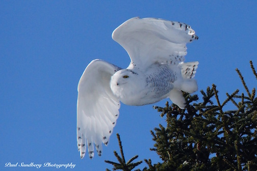 Arctic Snowy Owls are making an early appearance this year.  Photo by Paul Sundberg.