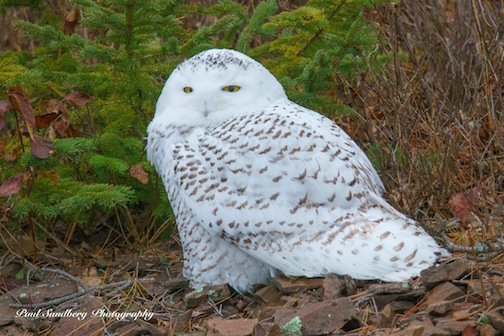 Snowy Owl by Paul Sundberg.